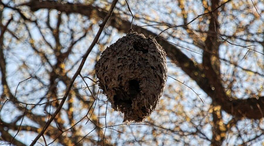 A bee hive up on a tree